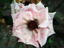Donkere achtergrond van close-up de Roze rozen Royalty-vrije Stock Foto