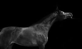 Donkere baai mooie Arabische hengst bij zwarte Stock Foto