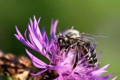 Donkere bijenbestuiving van een bloem stock fotografie