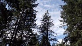 Donkere bomen tegen heldere blauwe hemel met wolken die zich overdwars bewegen stock videobeelden