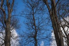 Donkere bomentakken tegen de achtergrond van blauwe hemel en wit Stock Afbeeldingen