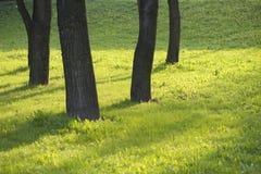 Donkere boomstammen van bomen op de lentegreens Royalty-vrije Stock Foto's