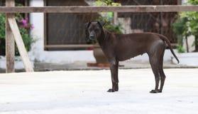 Donkere bruine hond die zich op de concrete grond bevinden een geacclimatiseerd vleesetend zoogdier dat typisch een lange snuit h royalty-vrije stock foto
