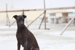 Donkere bruine hondzitting op de concrete grond een geacclimatiseerd vleesetend zoogdier dat typisch een lange snuit heeft royalty-vrije stock afbeelding