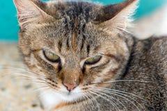 Donkere bruine katten gele ogen Stock Foto