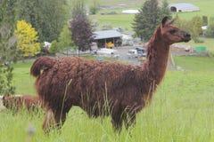 Donkere Bruine Lama Stock Foto