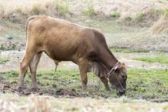 Donkere bruine stierentribune op moddermoeras Royalty-vrije Stock Afbeelding