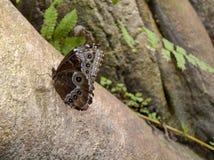 Donkere bruine vlinder stock afbeelding