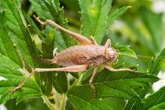 Donkere Bush-veenmol (Pholidoptera-griseoaptera) Royalty-vrije Stock Foto's