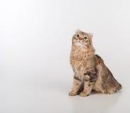 Donkere de kattenzitting van de Haar Amerikaanse Krul op de witte lijst Witte achtergrond stock afbeeldingen