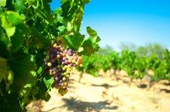 Donkere druiven voor wijn op riet Stock Foto's