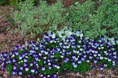 Donkere en lichtblauwe pansies in een groot bloembed Stock Foto