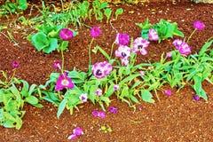 Donkere en lichtpaarse tulpen in het bloembed Stock Afbeelding