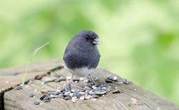 Donkere Eyed Junco-zangvogel die vogelzaad, Blauw Ridge Mountains eten, Noord-Carolina stock foto