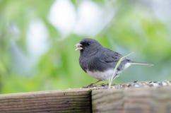 Donkere Eyed Junco-zangvogel die vogelzaad, Blauw Ridge Mountains eten, Noord-Carolina royalty-vrije stock afbeelding