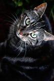 Donkere Gestreepte kat Stock Afbeelding