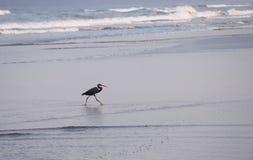 Donkere Grey Morph Western Reef Heron - Egretta Gularis Schistacea - in Zeewaters Royalty-vrije Stock Afbeeldingen