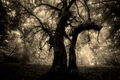 Donkere griezelige enge vreemde boom in een bos met mist op Halloween Stock Foto's
