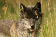 Donkere grijze wolf Stock Foto