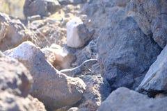 Donkere hagedis die in vulkanische rotsen wordt gecamoufleerd royalty-vrije stock foto's