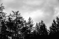 Donkere hemel met wolken en de bovenkanten van pijnboombomen in het bos stock afbeeldingen