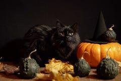 Donkere kat naast rode pompoen op zwarte achtergrond stock afbeelding