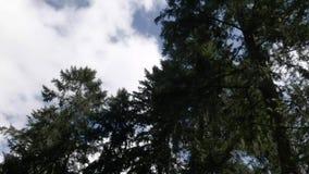 Donkere lange bomen onder heldere blauwe en witte wolkendekking stock videobeelden