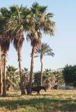 Donkere paardtribunes op de achtergrond van palmen bij zonsondergang Stock Afbeeldingen