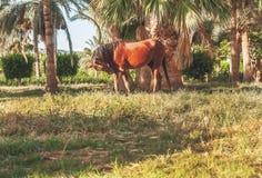 Donkere paardtribunes op de achtergrond van palmen bij zonsondergang Royalty-vrije Stock Afbeelding