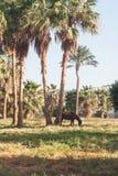 Donkere paardtribunes op de achtergrond van palmen bij zonsondergang Stock Afbeelding