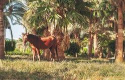 Donkere paardtribunes op de achtergrond van palmen bij zonsondergang Royalty-vrije Stock Foto's