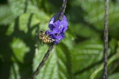 Donkere Purpere Bloemen van een Porterweed-Installatie met een het Bestuiven Honingbij royalty-vrije stock afbeeldingen