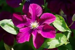 Donkere purpere clematissenbloemen die in de tuin in zonlicht bloeien royalty-vrije stock fotografie
