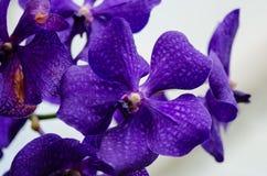 Donkere purpere dichte omhooggaand van de orchideebloesem met blured lichtblauw Stock Fotografie