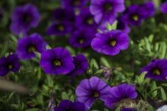 Donkere Purpere Druivenhyacint Stock Afbeeldingen