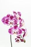 Donkere purpere en witte Phalaenopsis-orchideeën Stock Foto