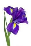 Donkere purpere irisbloem Stock Fotografie