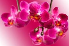 Donkere purpere orchideeën op vage gradiëntachtergrond Stock Fotografie
