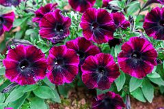 Donkere Purpere petuniainstallatie in huistuin stock fotografie