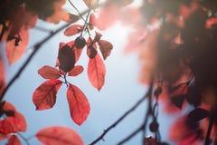 Donkere purpere pruimbladeren Kleurrijk gebladerte op een dunne tak op een natuurlijke achtergrond Organische verse gezonde blade Stock Afbeeldingen