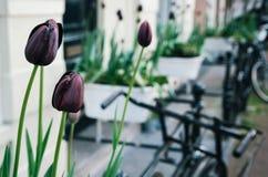 Donkere purpere tulp of zwarte tulpen Royalty-vrije Stock Foto