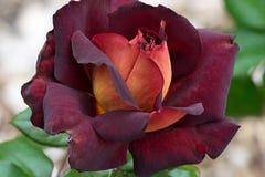 Donkere Ridder Rose Royalty-vrije Stock Foto's
