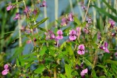 Donkere roze bloeiende Himalayan-Balsem van het sluiten Stock Foto