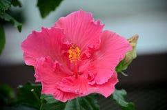 Donkere roze bloem dichte omhooggaand met meeldraad en stampers Royalty-vrije Stock Foto's