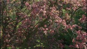 Donkere roze crabappletreetop in de lentewind stock videobeelden