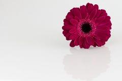 Donkere roze Gerbera-bloem op witte oppervlakte Royalty-vrije Stock Fotografie