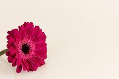 Donkere roze Gerbera-bloem op witte oppervlakte Stock Afbeeldingen