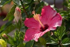 Donkere Roze Hibiscusbloei en Knop op Sunny Day Stock Afbeelding