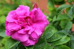 Donkere roze nam toe Royalty-vrije Stock Foto's