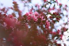 Donkere roze pruimboom in volledige bloei royalty-vrije stock fotografie